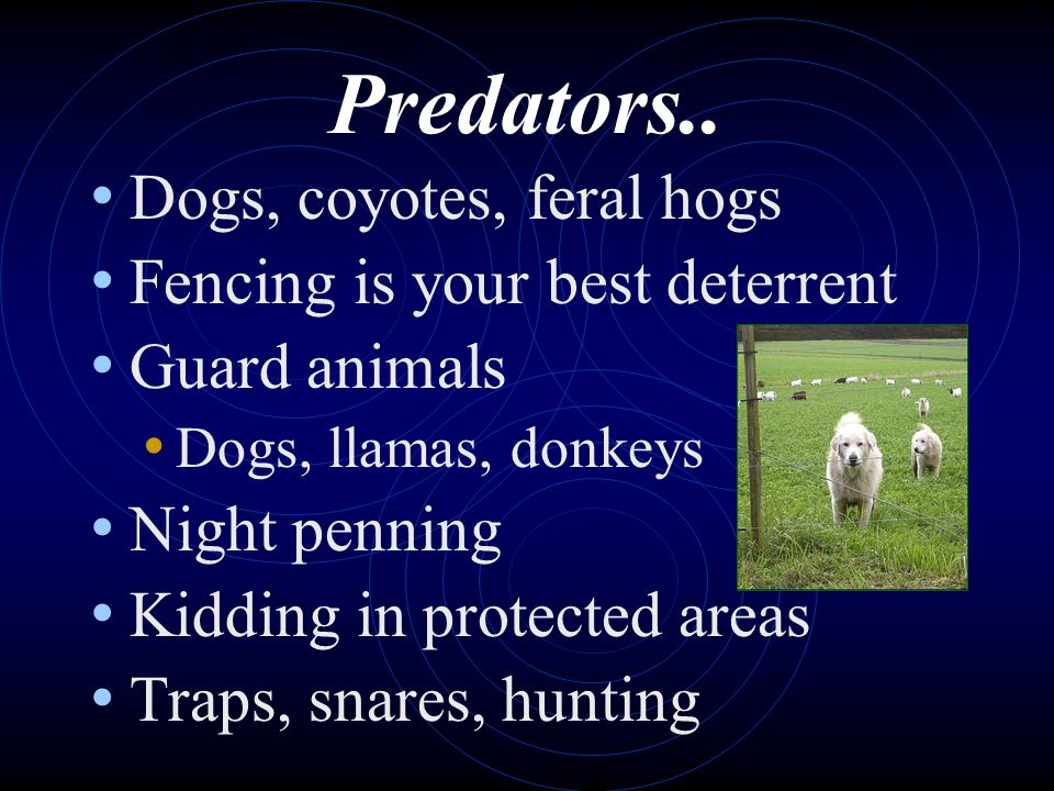 Predators.. Dogs, coyotes, feral hogs Fencing is your best deterrent