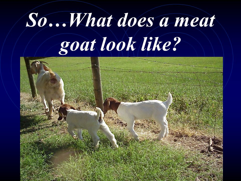 So…What does a meat goat look like