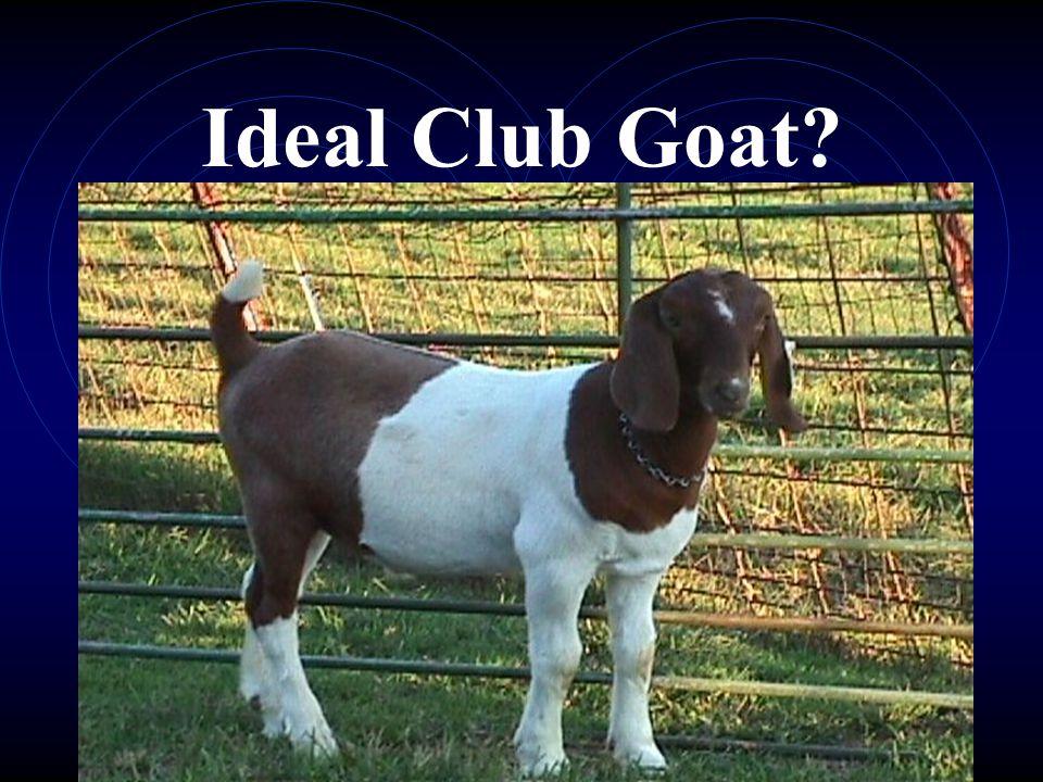 Ideal Club Goat