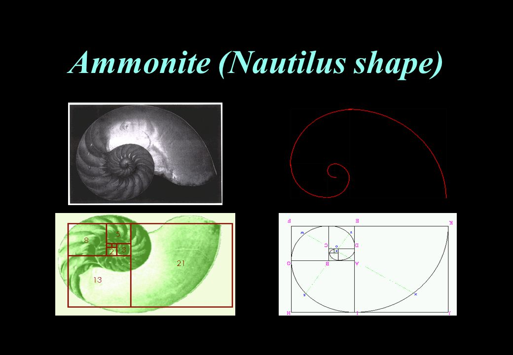 Ammonite (Nautilus shape)