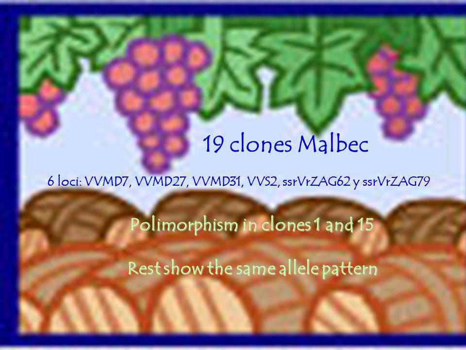 Polimorphism in clones 1 and 15 Rest show the same allele pattern