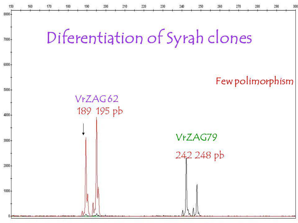 Diferentiation of Syrah clones