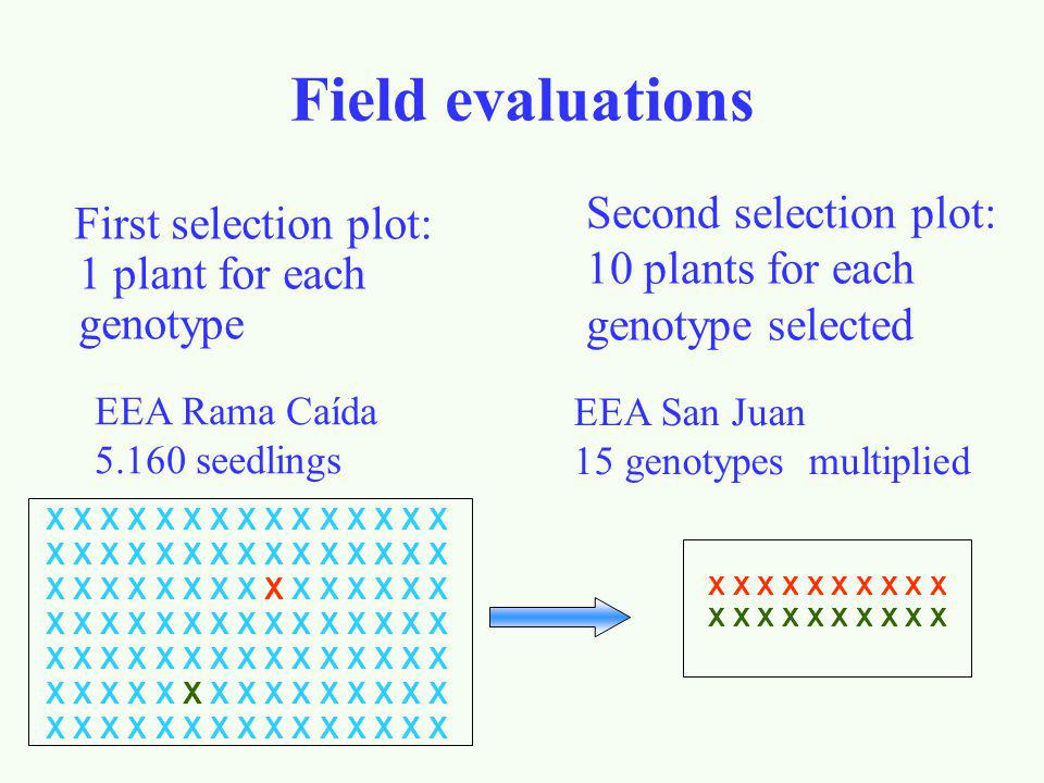 Field evaluations Second selection plot: 10 plants for each genotype selected. First selection plot: 1 plant for each genotype.