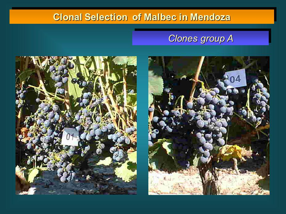 Clonal Selection of Malbec in Mendoza