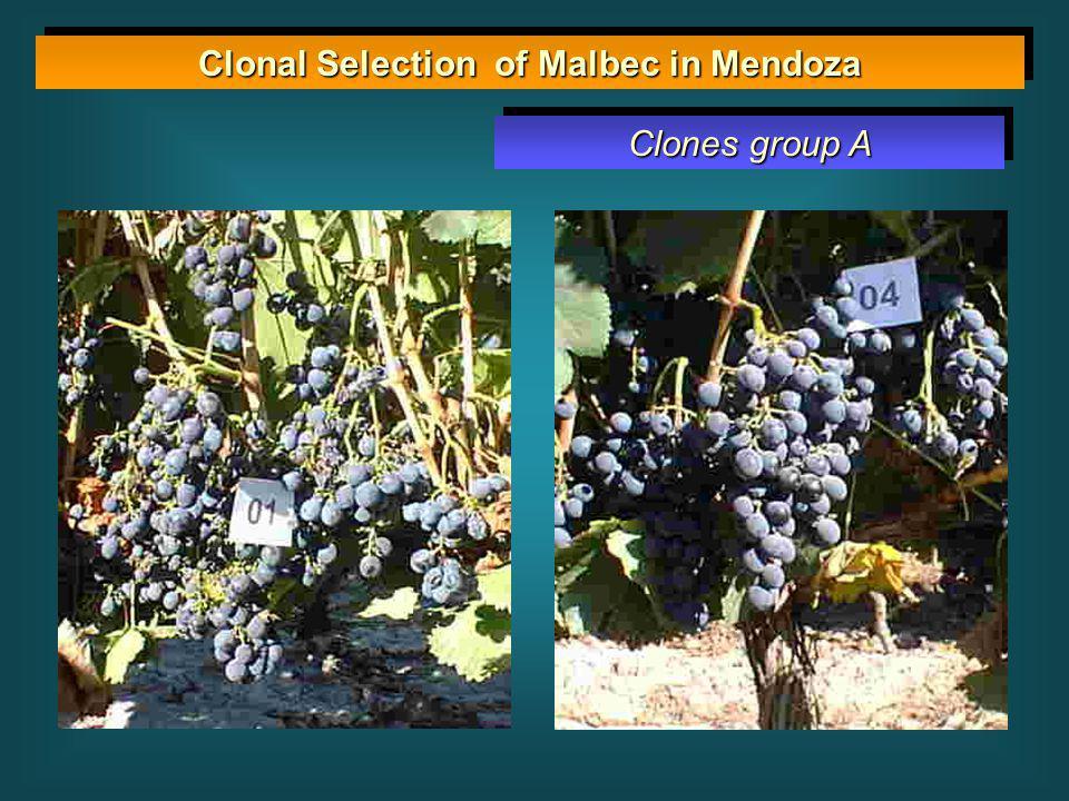 Clonal Selection of Malbec in Mendoza