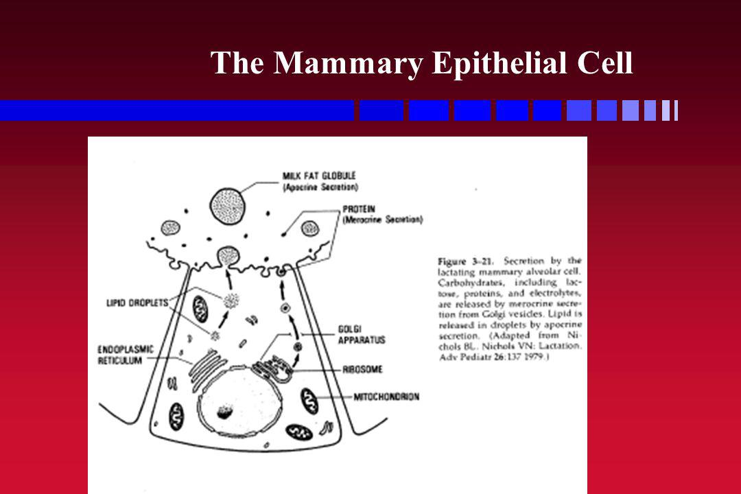 The Mammary Epithelial Cell