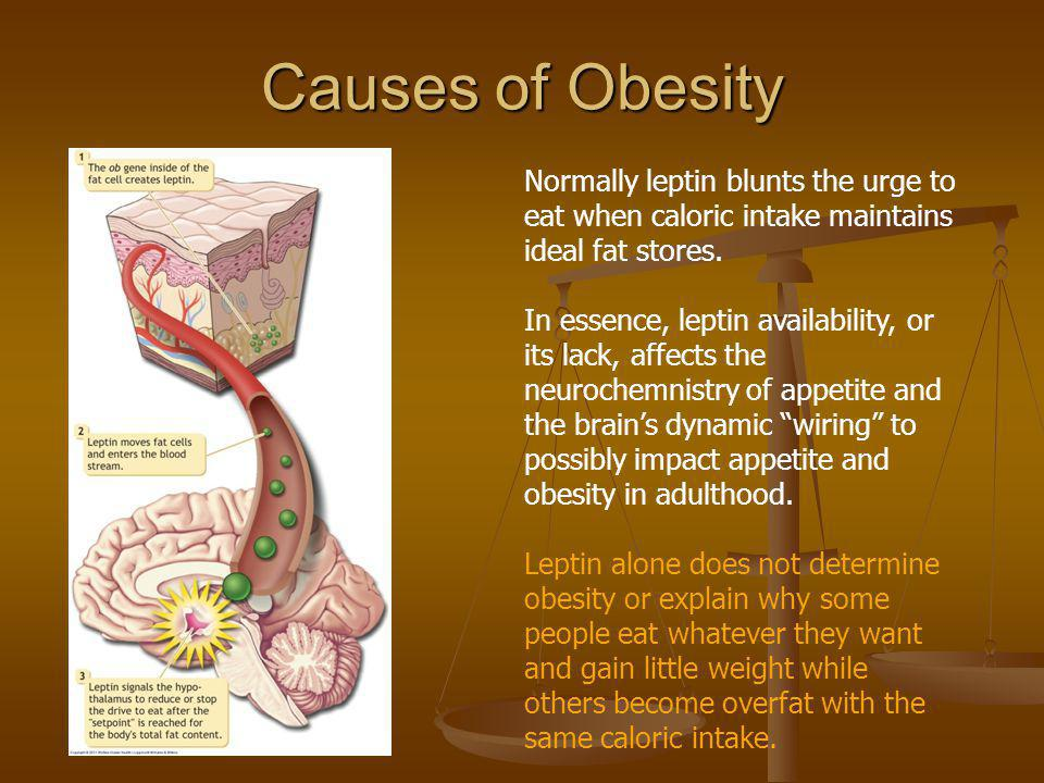 Causes of Obesity Normally leptin blunts the urge to eat when caloric intake maintains ideal fat stores.