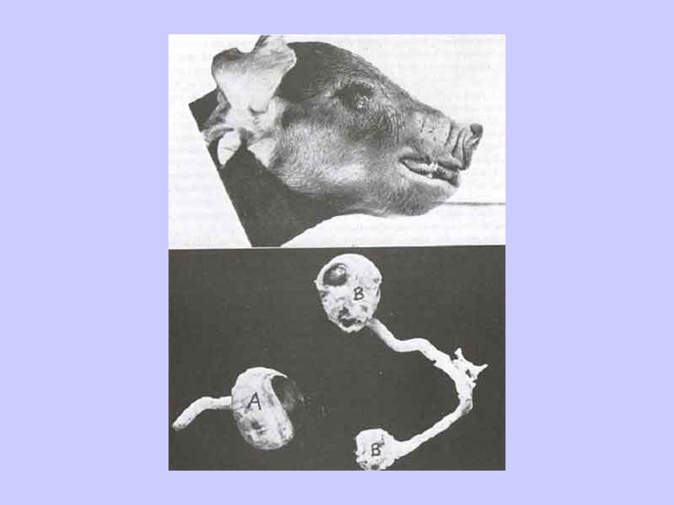 Pig Study