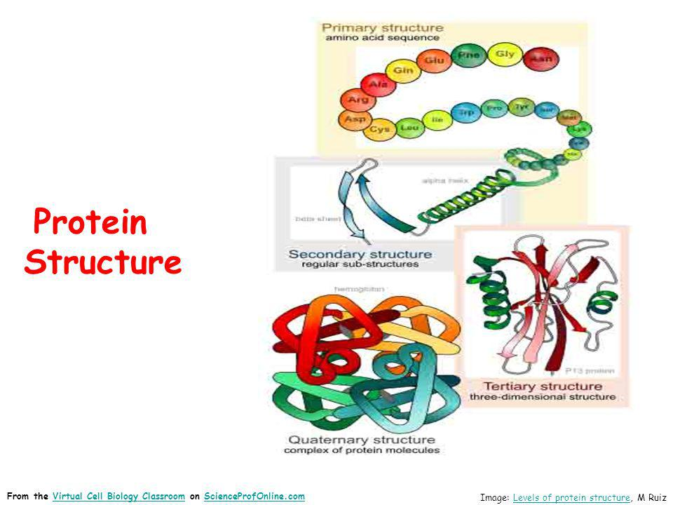 Protein Structure From the Virtual Cell Biology Classroom on ScienceProfOnline.com.