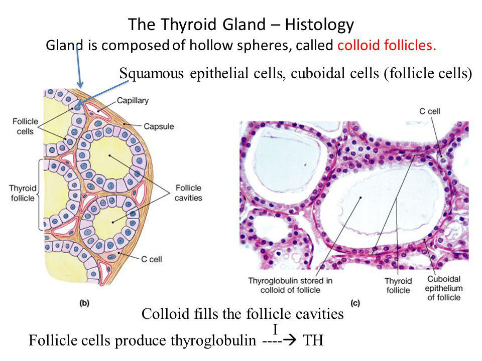 The Thyroid Gland – Histology Gland is composed of hollow spheres, called colloid follicles.