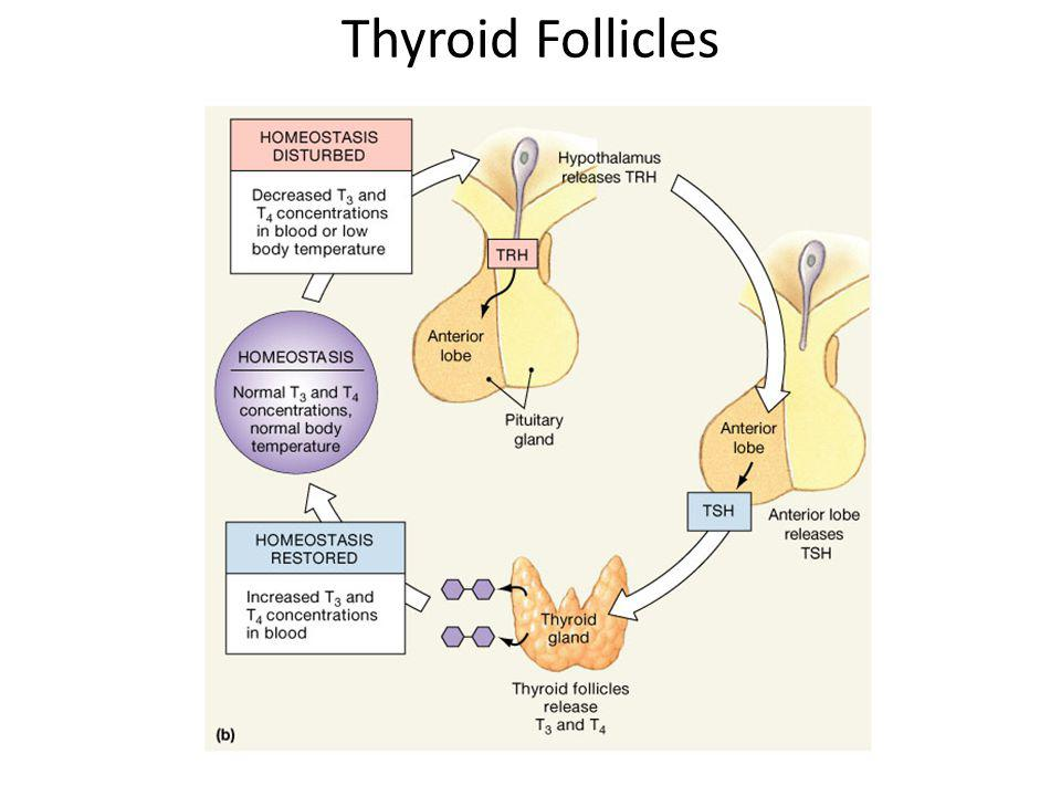 Thyroid Follicles