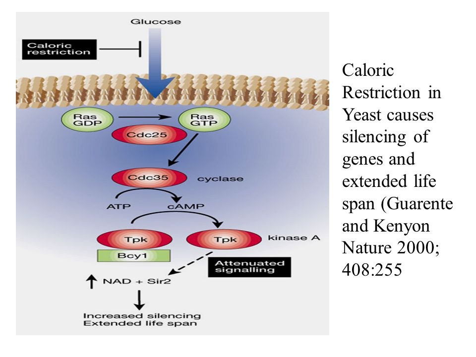 Caloric Restriction in Yeast causes silencing of genes and extended life span (Guarente and Kenyon Nature 2000; 408:255