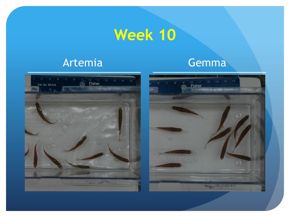 Week 10 Artemia Gemma