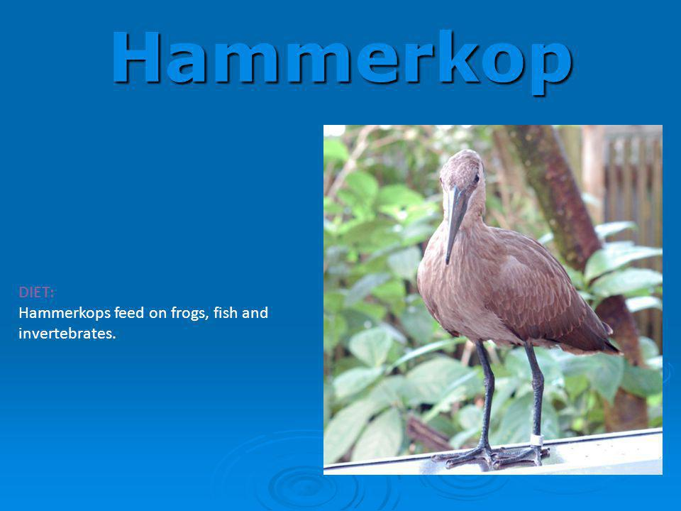 Hammerkop DIET: Hammerkops feed on frogs, fish and invertebrates.