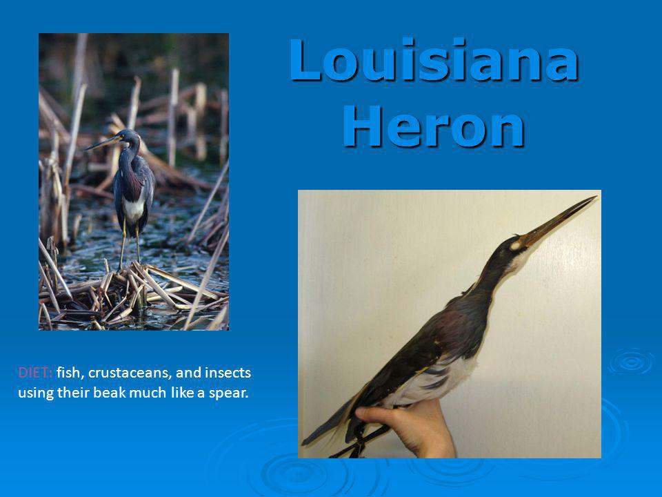 Louisiana Heron DIET: fish, crustaceans, and insects using their beak much like a spear.