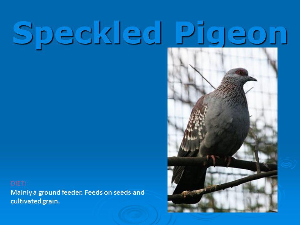 Speckled Pigeon DIET: Mainly a ground feeder. Feeds on seeds and cultivated grain.