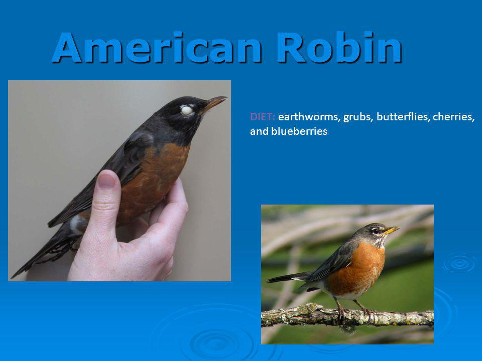 American Robin DIET: earthworms, grubs, butterflies, cherries, and blueberries