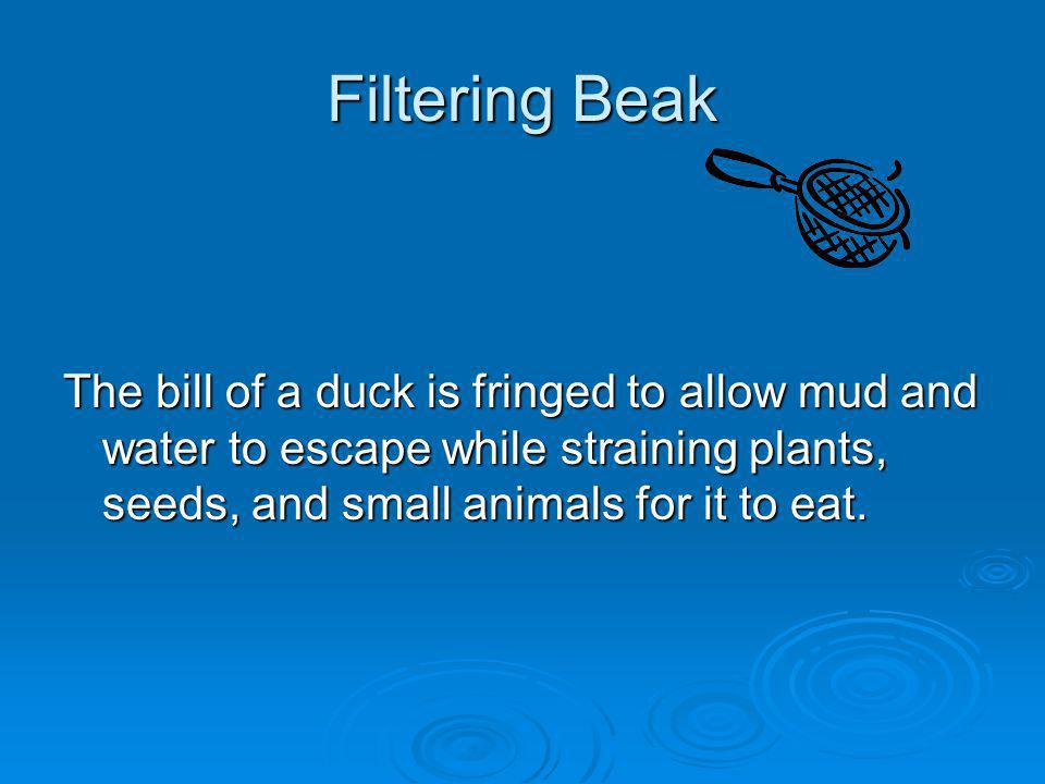Filtering Beak The bill of a duck is fringed to allow mud and water to escape while straining plants, seeds, and small animals for it to eat.