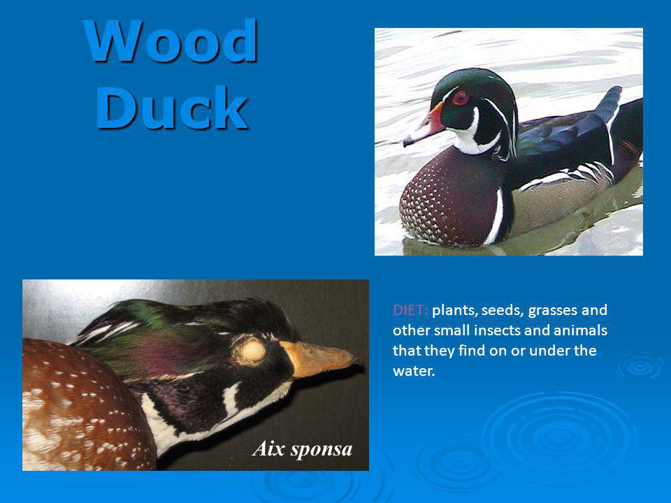 Wood Duck DIET: plants, seeds, grasses and other small insects and animals that they find on or under the water.