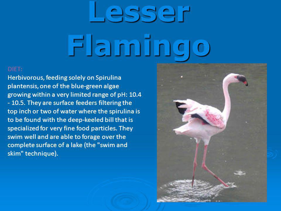 Lesser Flamingo DIET: