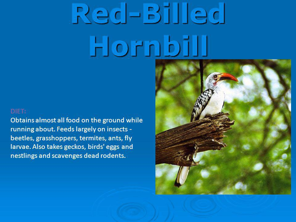 Red-Billed Hornbill DIET: