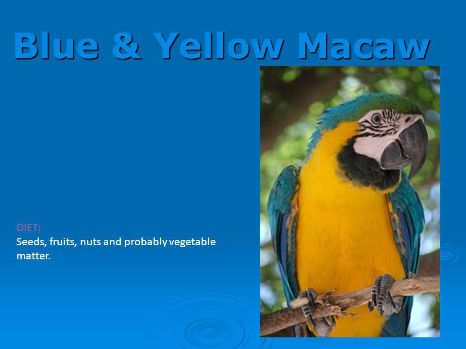Blue & Yellow Macaw DIET: