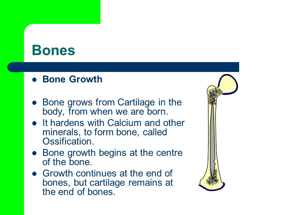 Bones Bone Growth. Bone grows from Cartilage in the body, from when we are born.
