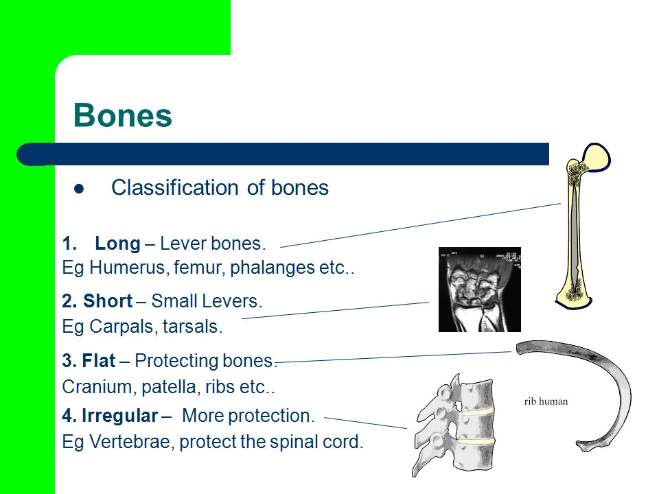 Bones Classification of bones Long – Lever bones.