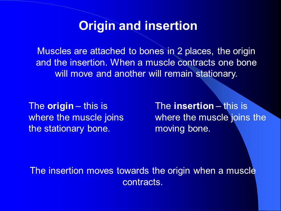 The insertion moves towards the origin when a muscle contracts.