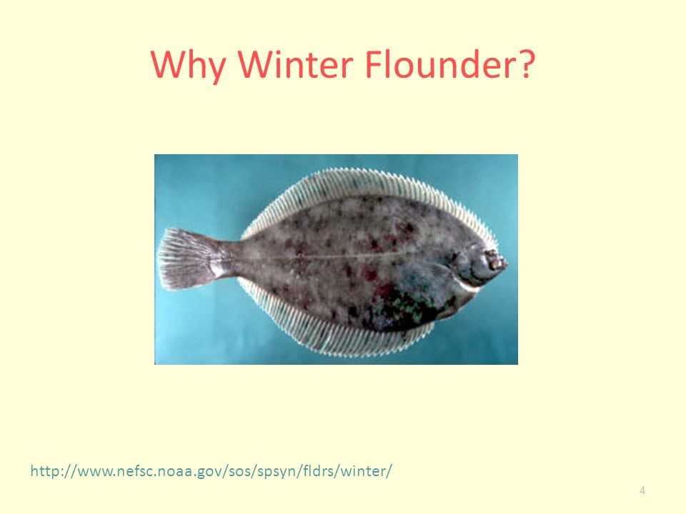 Why Winter Flounder http://www.nefsc.noaa.gov/sos/spsyn/fldrs/winter/