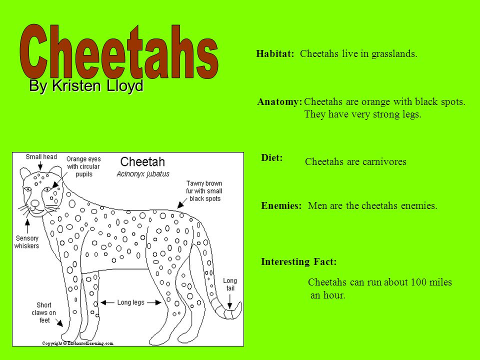 Cheetahs By Kristen Lloyd Habitat: Cheetahs live in grasslands.