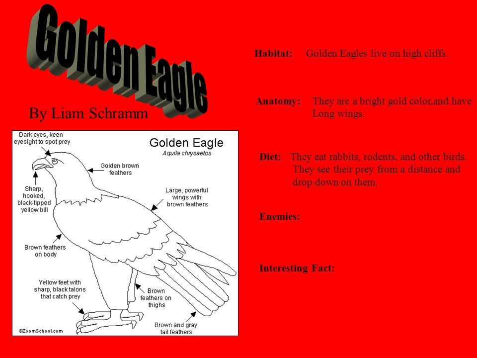Golden Eagle By Liam Schramm Habitat:
