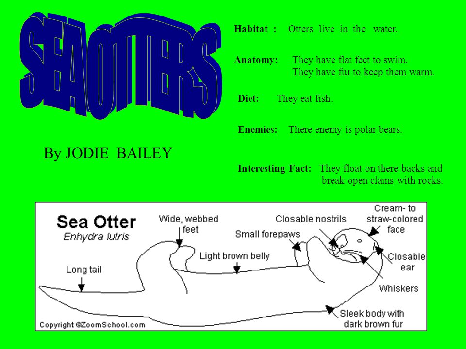 SEA OTTERS By JODIE BAILEY Habitat : Otters live in the water.