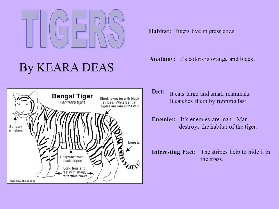 TIGERS By KEARA DEAS Habitat: Tigers live in grasslands. Anatomy:
