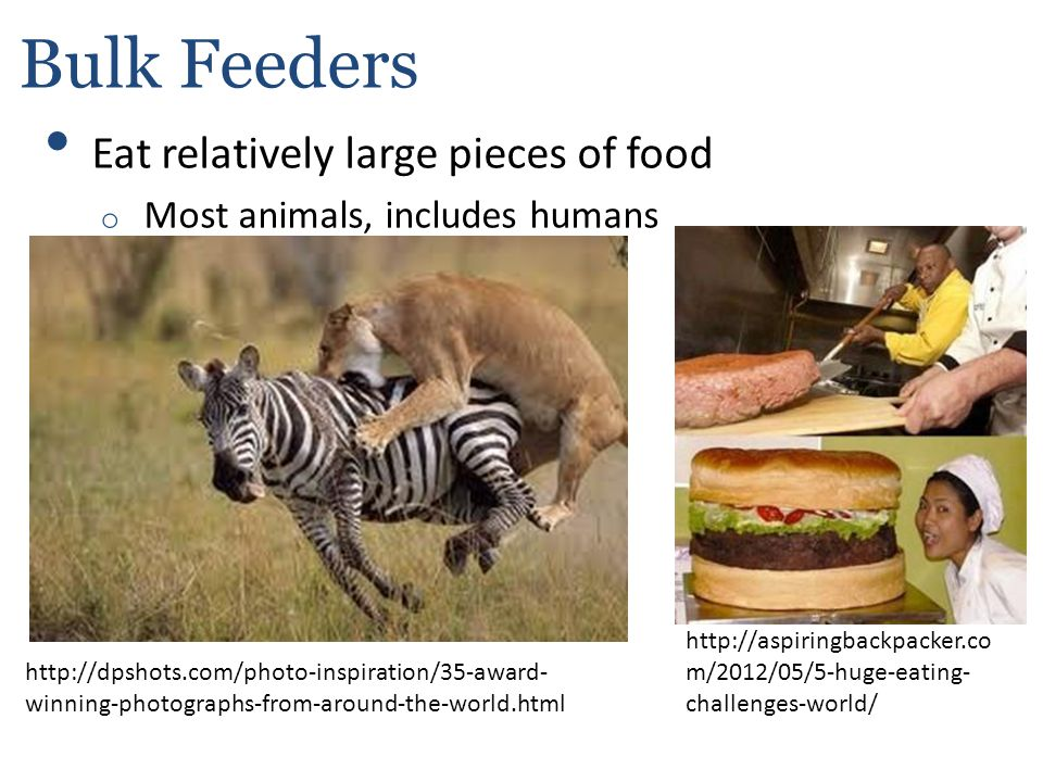 Bulk Feeders Eat relatively large pieces of food