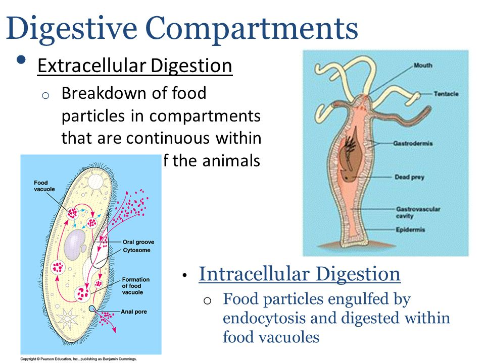 Digestive Compartments