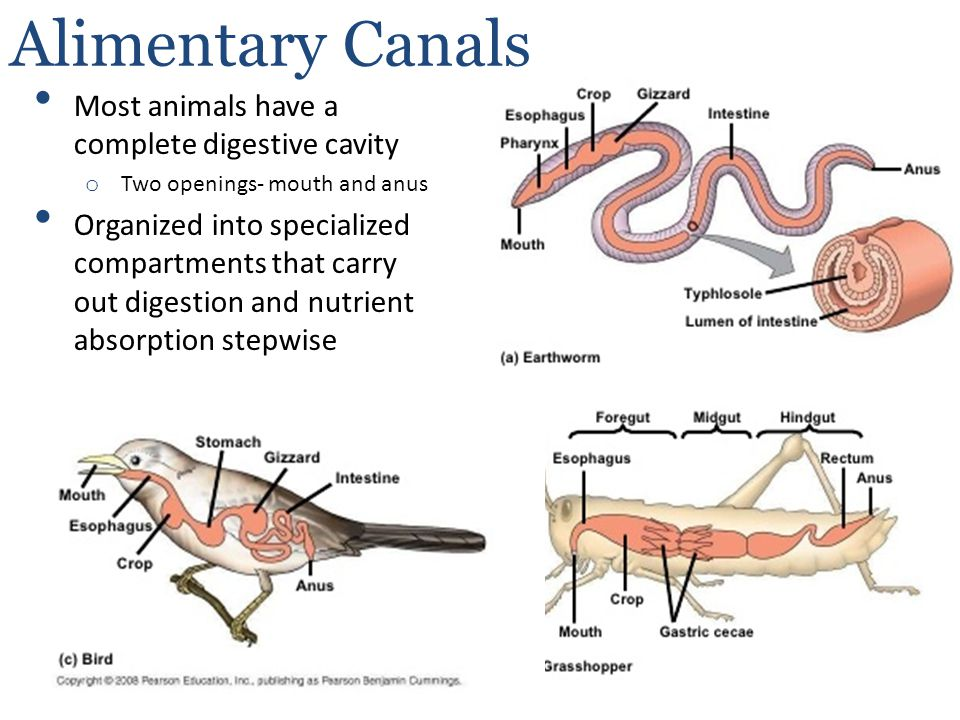 Alimentary Canals Most animals have a complete digestive cavity
