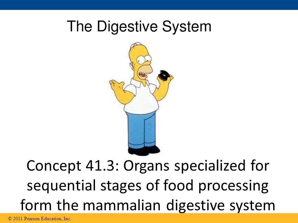Concept 41.3: Organs specialized for sequential stages of food processing form the mammalian digestive system