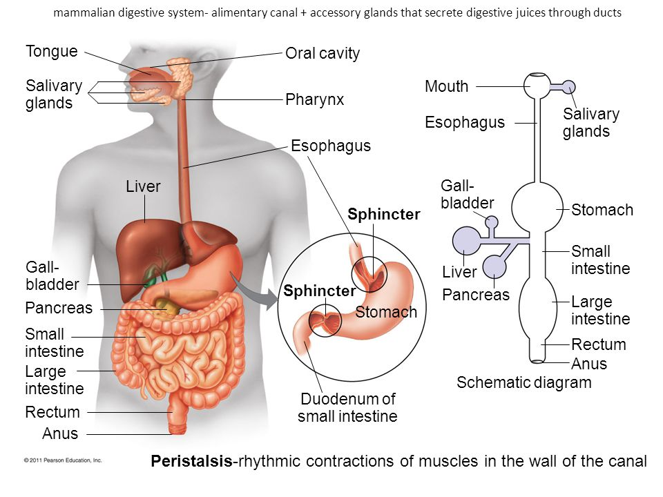 Peristalsis-rhythmic contractions of muscles in the wall of the canal