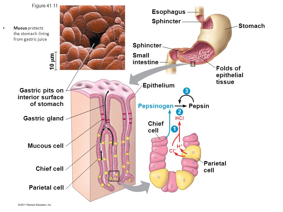 Esophagus Sphincter Stomach Sphincter Small intestine Folds of
