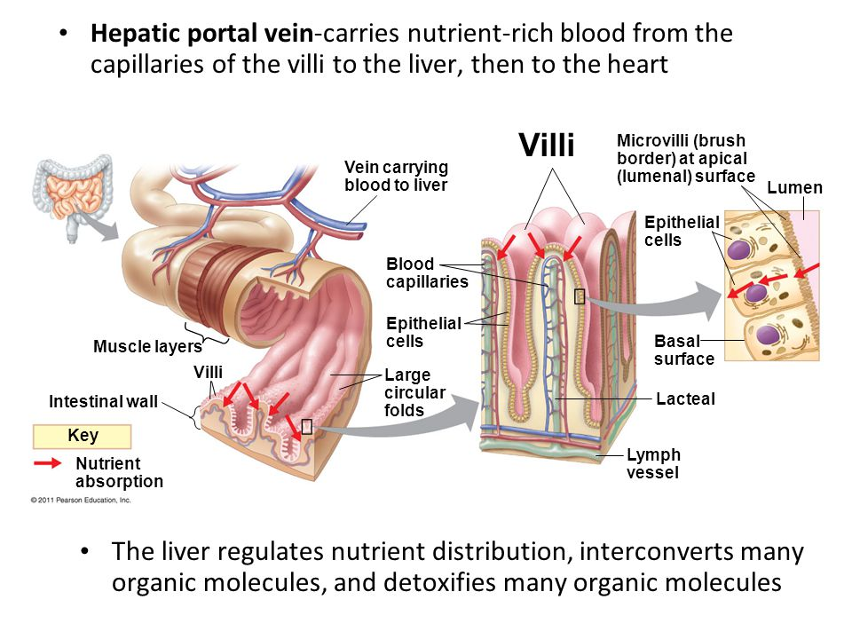 Hepatic portal vein-carries nutrient-rich blood from the capillaries of the villi to the liver, then to the heart