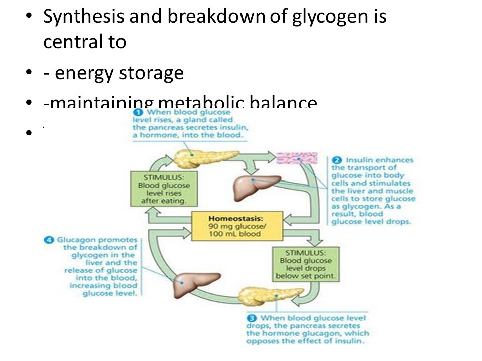 Synthesis and breakdown of glycogen is central to