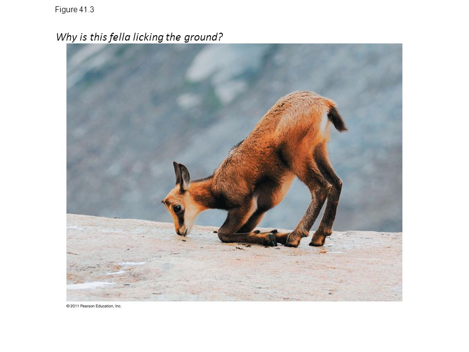 Why is this fella licking the ground