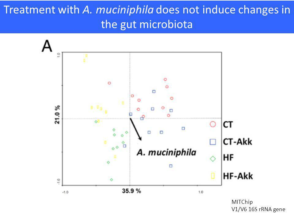 Treatment with A. muciniphila does not induce changes in the gut microbiota