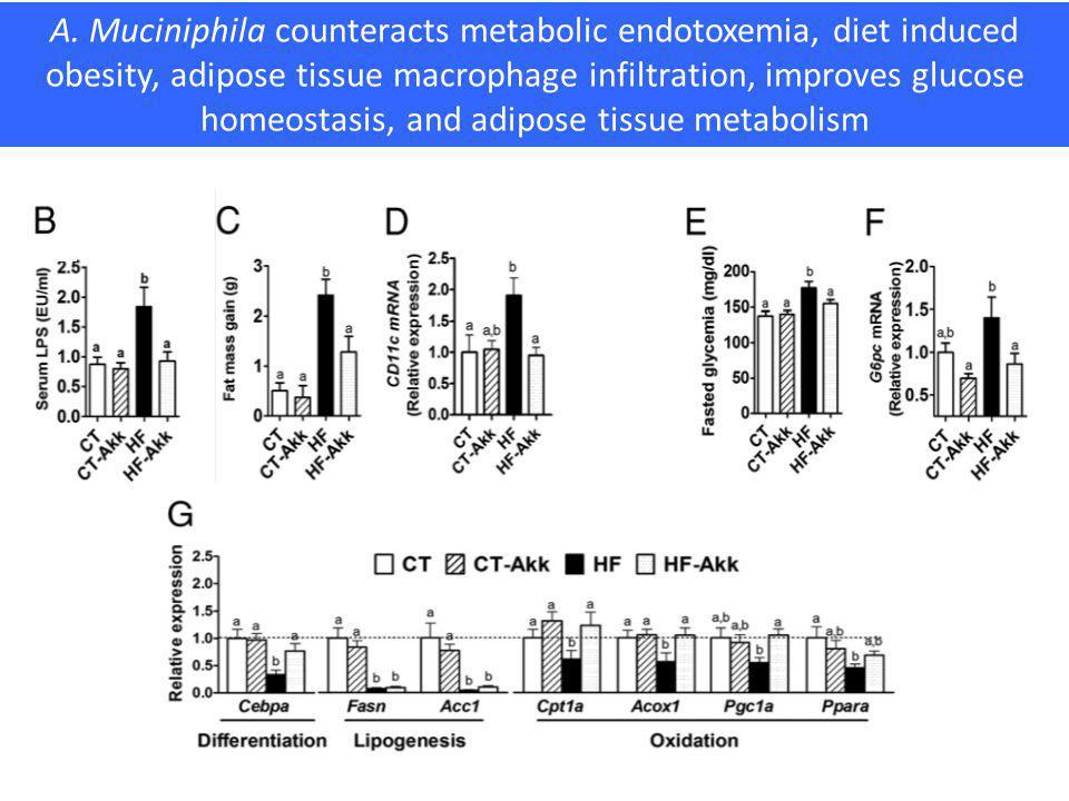 A. Muciniphila counteracts metabolic endotoxemia, diet induced obesity, adipose tissue macrophage infiltration, improves glucose homeostasis, and adipose tissue metabolism
