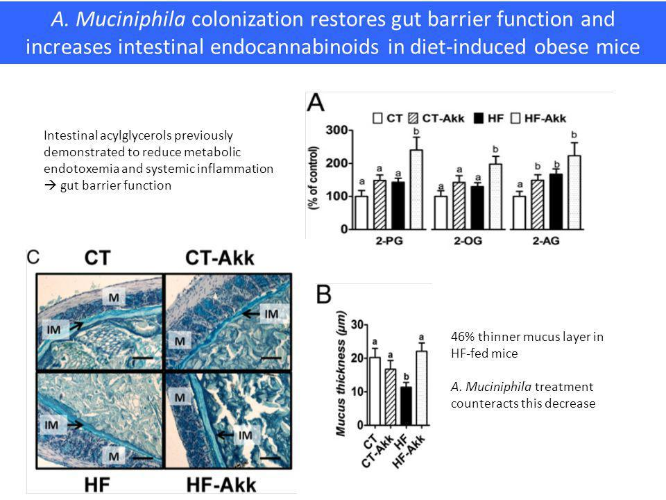 A. Muciniphila colonization restores gut barrier function and increases intestinal endocannabinoids in diet-induced obese mice