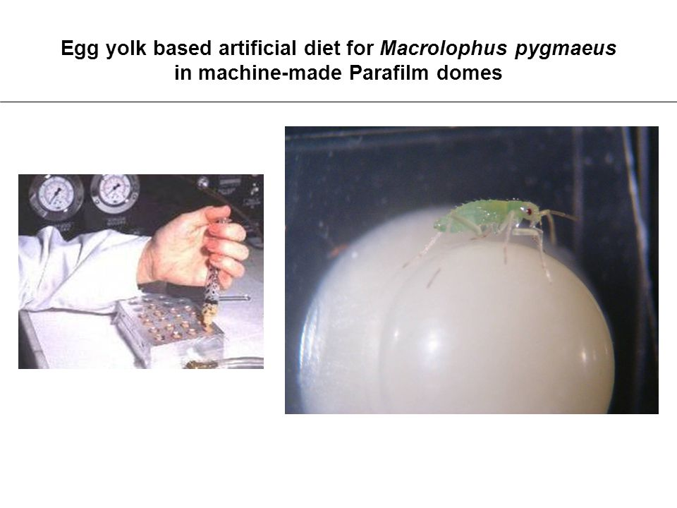 Egg yolk based artificial diet for Macrolophus pygmaeus in machine-made Parafilm domes