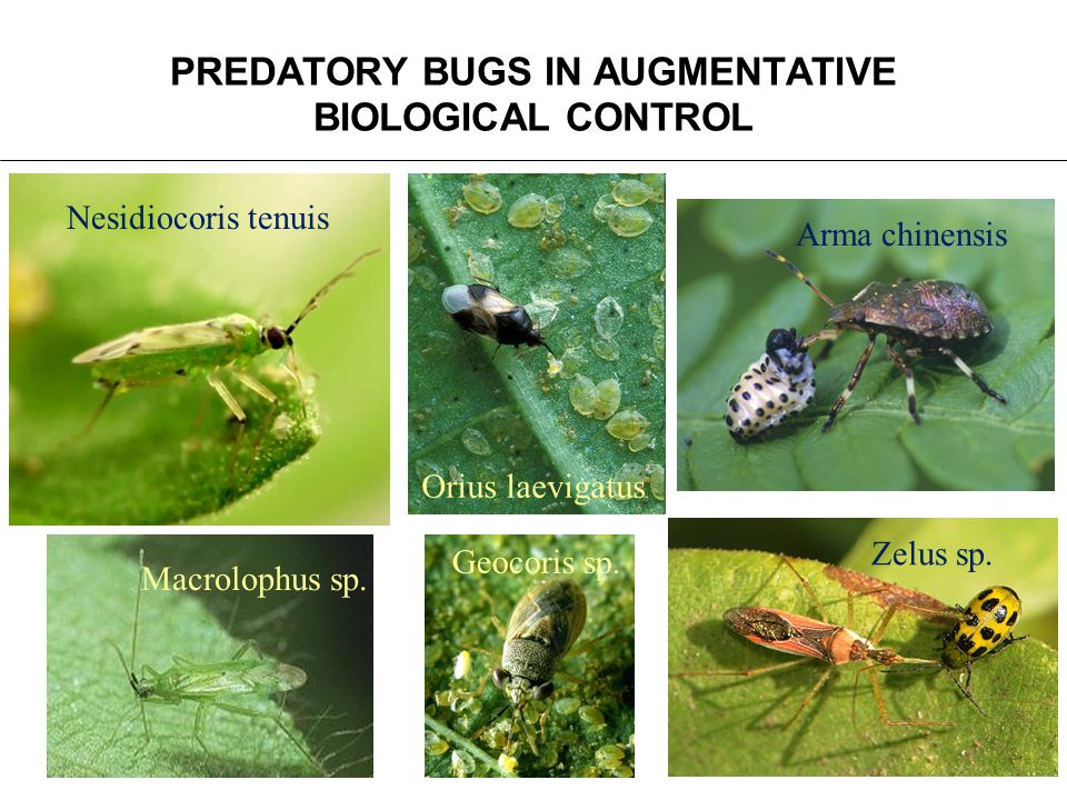 PREDATORY BUGS IN AUGMENTATIVE BIOLOGICAL CONTROL