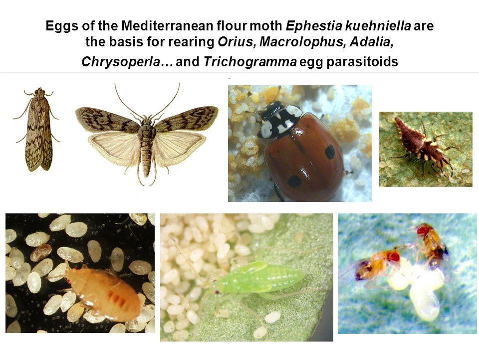 Eggs of the Mediterranean flour moth Ephestia kuehniella are the basis for rearing Orius, Macrolophus, Adalia, Chrysoperla… and Trichogramma egg parasitoids