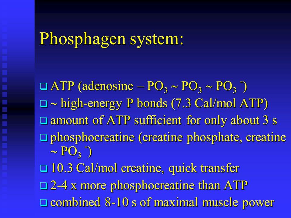 Phosphagen system: ATP (adenosine – PO3  PO3  PO3 -)